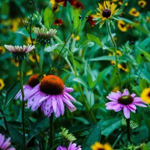 Budget Prairie Native Grass and Wild Flowers