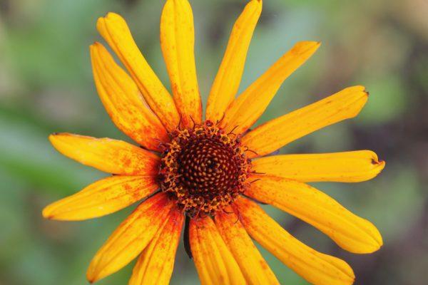 False Sunflower Seeds