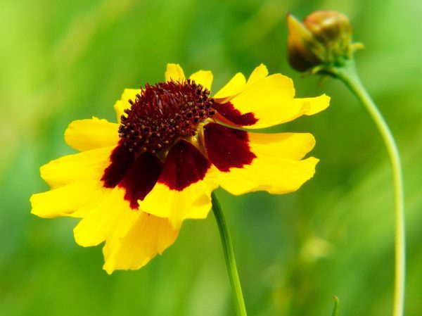 Plains Coreopsis (A) Seeds