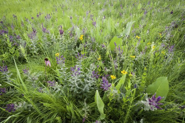 Wildflowers and prairie plants forms a natural bouquet at a restored Midwest prairie.