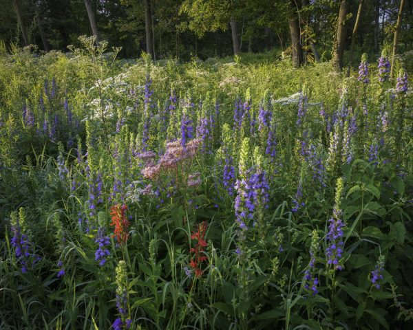 Early morning sunlight on blooming cardinal flower and great blue lobelia in a prairie setting.