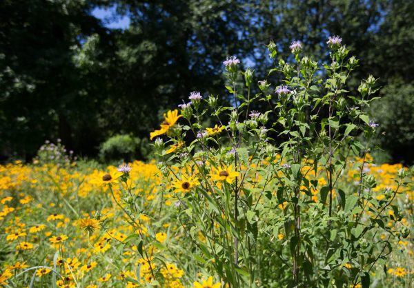 Pollinator (Forb Only) Wildflower Seeds Mix