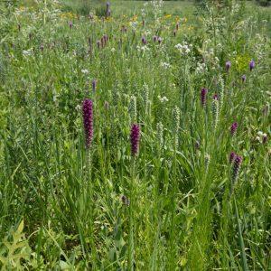 Monarch Habitat Plant Seeds Mix