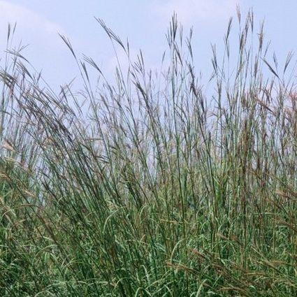 Big Bluestem Live Grass