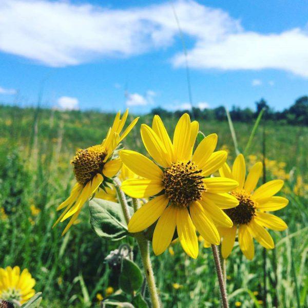 Ashy Sunflower (H mollis) wildflower