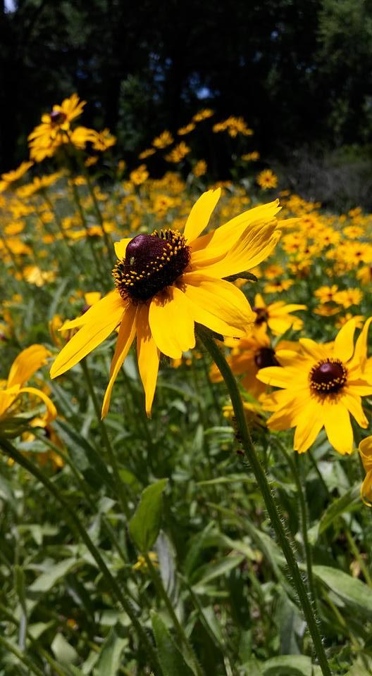 Black-Eyed Susan (hirta) Wildflowers