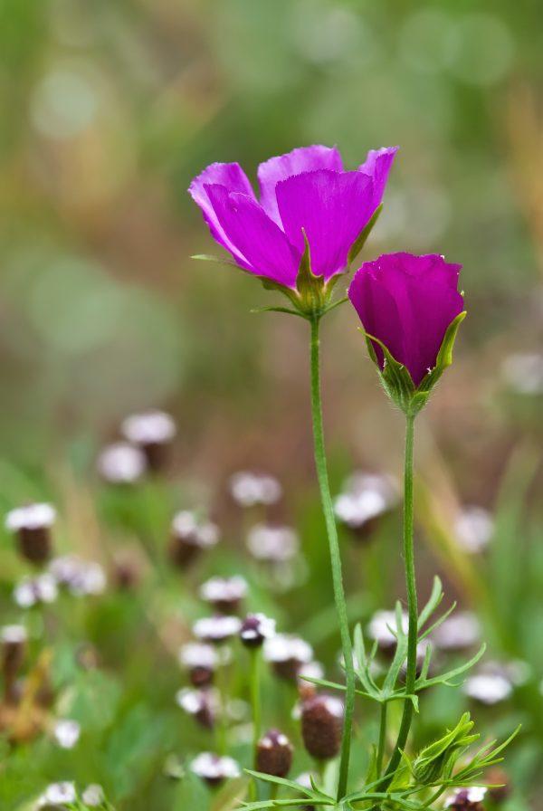 Winecup wildflowers (Callirhoe involucrata)