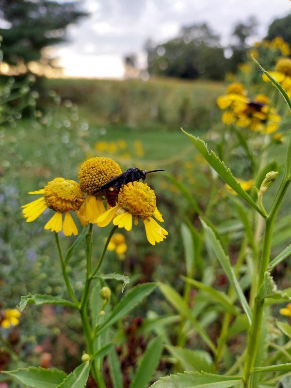 Common Sneezeweed Seeds