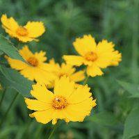 Lanceleaf Coreopsis flower