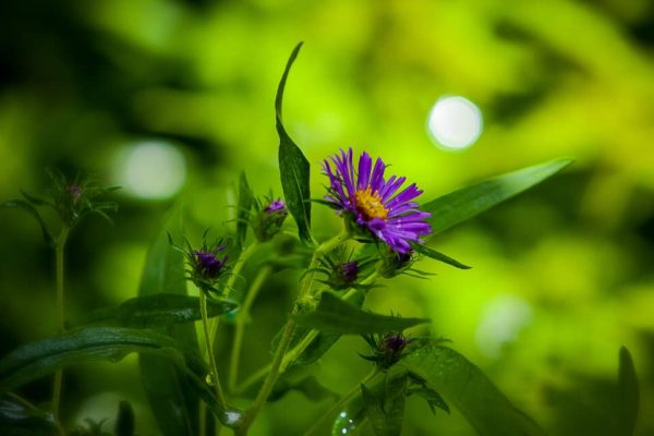 New England Aster 2