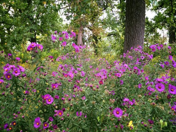 New England Aster 3