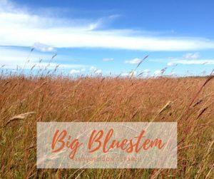 Big Bluestem Tall Prairie Grass
