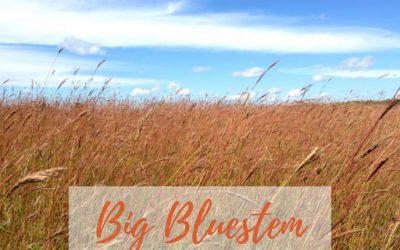 Big Bluestem, A Shining Star In Native Grass Species