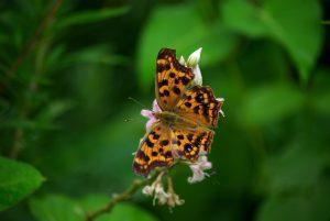 Monarch Butterfly Milkweed Prairie Restoration