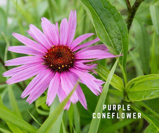 Purple Coneflower Pure Air Natives Prairies