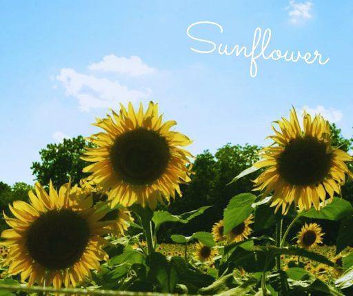 Sunflower Seed Pure Air Natives Prairies