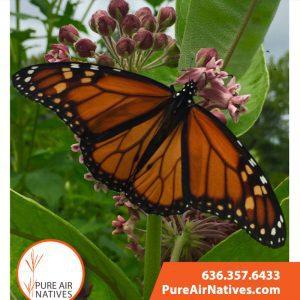 3 Dollar Monarch Pollinator Seeds