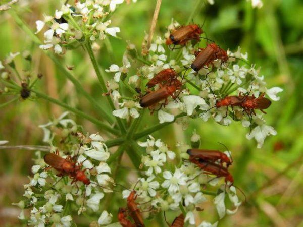 Soldier Beetles Farmers Friend